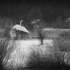 білий птах з чорною ознакою