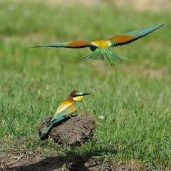Золотистая щурка (лат. Merops apiaster)