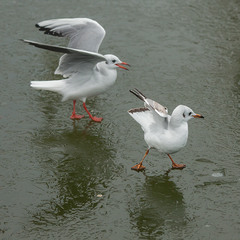 Крылья выше, лапы шире не спешите три, четыре
