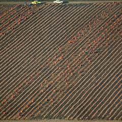 Луковое поле