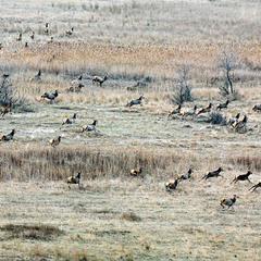 Где среди пампасов бегают олени...