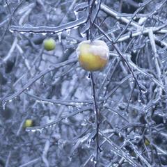Яблоки в природном хрустале