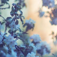 Яблуневий цвіт