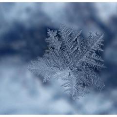 Зимова волошка