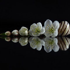 Хронологія цвітіння. Вишня