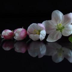 Хронологія цвітіння. Яблуня.