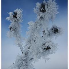 Колюче зимове))