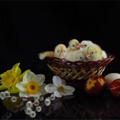 І ще трішки курчаточок ))