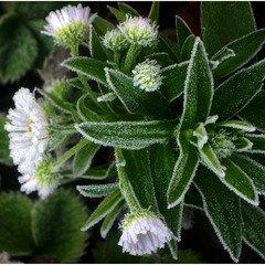 Цукрові квіти