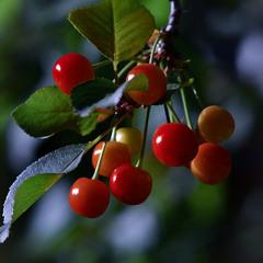Спеют вишни