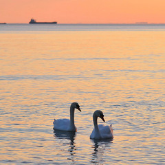 Two swans, two ships ...