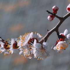 A sprig of apricot outside my window