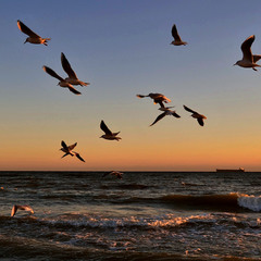 Rapid flight of seagulls