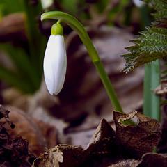 перші квіти весни