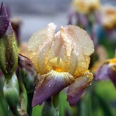 Ирисы в каплях дождя