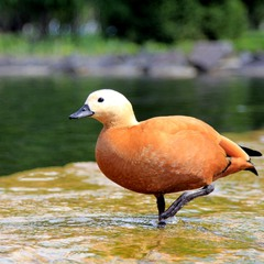 Красная утка, или Огарь