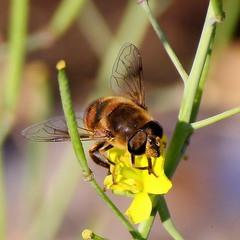 За пчёлами гоняясь...