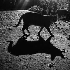 Кошкина тень