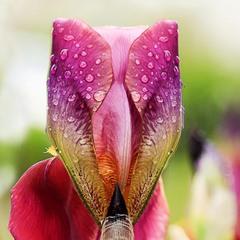 Бокал ирисового нектара