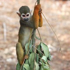 Обыкновенная беличья обезьяна.