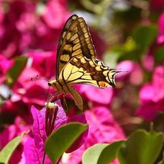 Бабочка - красавица.