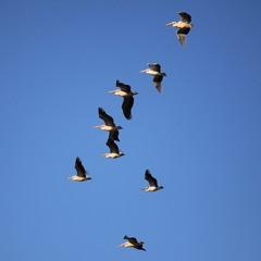 Пеликаны тоже улетели!