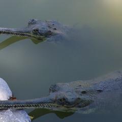 Молодой крокодил...нашёл себе друга.