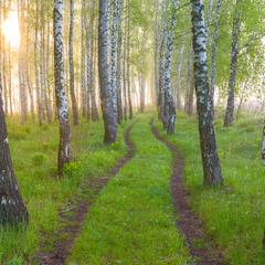 Травневий ранок у березовому лісі-2.