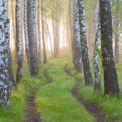 Травневий ранок у березовому лісі.