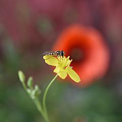 Жовта квіточка