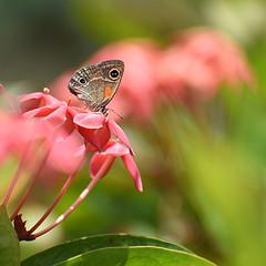 Дуже маленький метелик