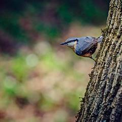птичка повзик