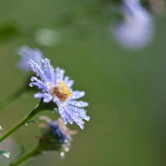 Little blue flower...
