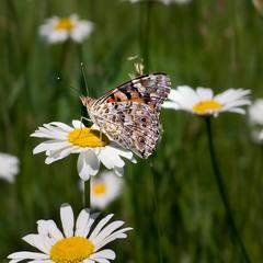 Время бабочек и ромашек...