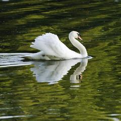 Лебедь белая плывет...