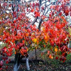 Груша осенью.