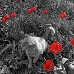 Котик в тюльпанах.