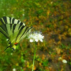 Бабочка опыляет цветочек полевой.