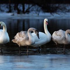 Лебединое семейство