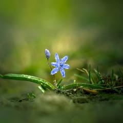 Первоцветы Фаберже