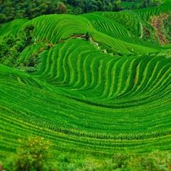 Рисовые  поля на гребне дракона