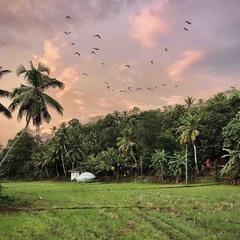 Захід сонця на рисовому полі.