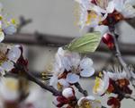 Бабочка и абрикос...Весенние зарисовки.