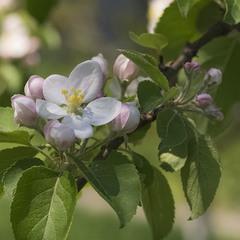 Яблони в цвету, какое чудо!