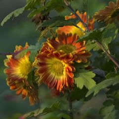 Прощальная песнь хризантем