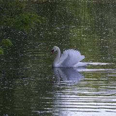 Вот белый лебедь на пруду...
