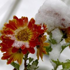 Ах кабы на цветы да не морозы...