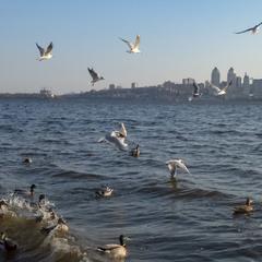 Чайки, утки, Днепр и ветер.