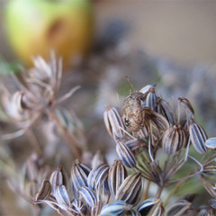 Анисовые зёрнышки...