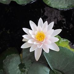 Кувшинка - водяная лилия, нимфея, одолень - трава.